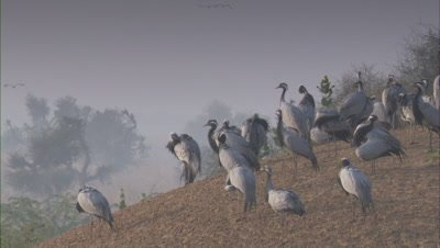 Flock of Demoiselle Cranes Rest On The Land