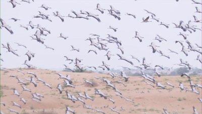 Demoiselle Crane During Their Flight In Kichan Village,Rajasthan