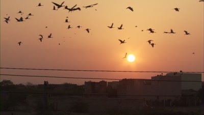 Demoiselle Crane Above Village,Sunrise or Sunset