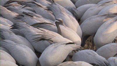 Close Up,Densely packed Flock of Demoiselle Cranes Rest,Feed