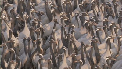 Densely packed Flock of Demoiselle Cranes Rest,Feed