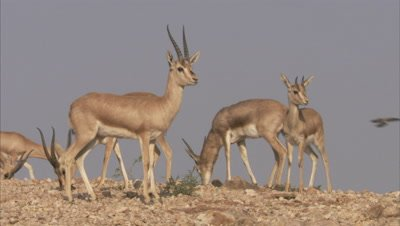 Herd Of Indian Gazelles,Chinkaras Grazing In Desert,A Pair butts heads