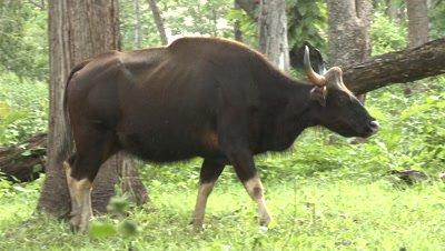 Gaur in Forest