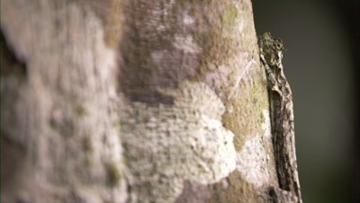 Draco Lizard Camouflages On Bark Of Tree