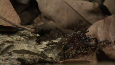 Close Up Of Spider Fighting With Ants Carrying A Dead Spider Carcass