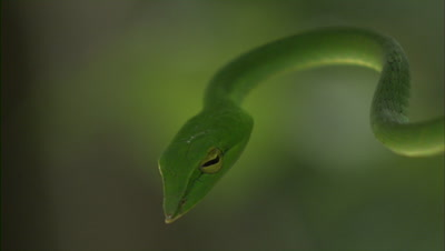 Green Vine Snake,possibly Ahaetulla nasuta,Moves In Leafy Tree