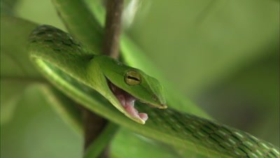 Green Vine Snake,possibly Ahaetulla nasuta,rests In Leafy Tree