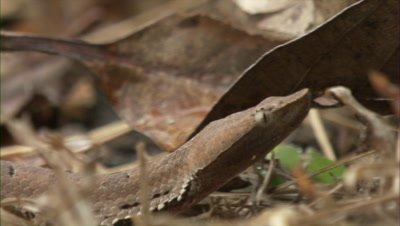 Hump Nosed Pit Viper Crawling Through Leaf Litter