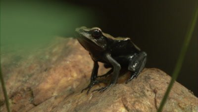 Bi-Coloured Frog Sitting On A Rock