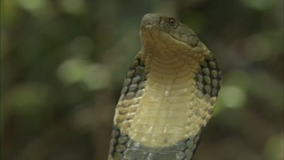 Close Up Of King Cobra In Forest Clearing,tilt up body to flared hood
