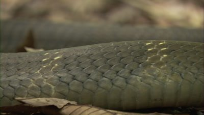 Close Up Of King Cobra In Forest Clearing