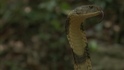 Close Up Of King Cobra,hood flared,flicks tongue