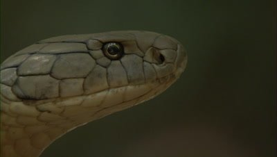 Close Up Of King Cobra,Profile Portrait