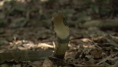 King Cobra In Forest Clearing,upright with flared hood