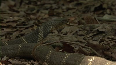 King Cobra crawls on forest floor