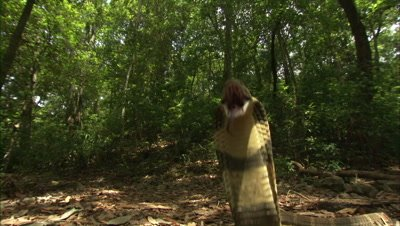 King Cobra In Forest Clearing,upright,flared,strikes camera