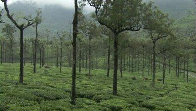 Gaur graze in tea field