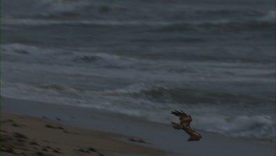 brahminy kite flies over beach