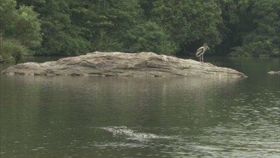 Mugger Crocodile Half Submerged in River,stork in background