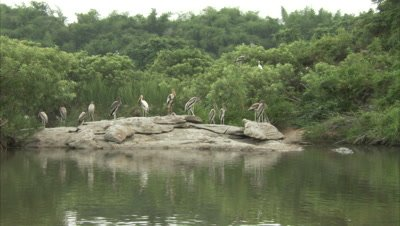 Groups Of Openbill Stork Sitting On Rock in River