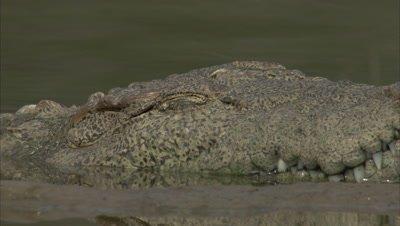Mugger Crocodile Half Submerged in River