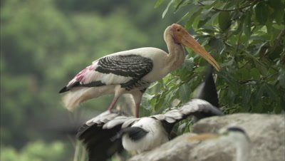 Female Painted Stork Feeding Its Young Ones