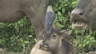 Crows Harass Water Buffalo,One Lands on Calf's Head
