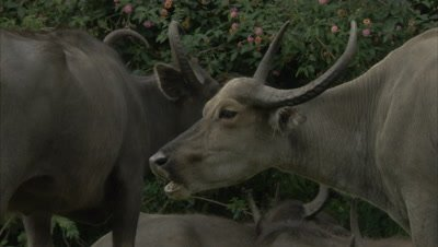 Water Buffalo Graze and Rest