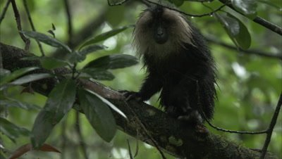 Lion-tailed Macaque Grooms in Rainforest,Shakes off Rain