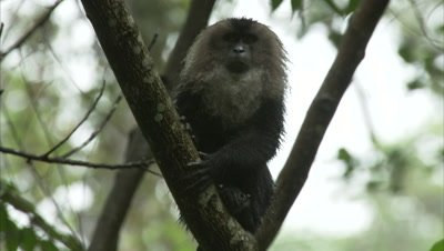 Lion-tailed Macaque Sits in Tree Feeding On Jackfruit