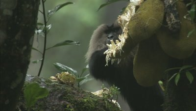 Lion-tailed Macaque Feeding On Jackfruit