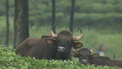 Gaurs Rest In Tea Plantation