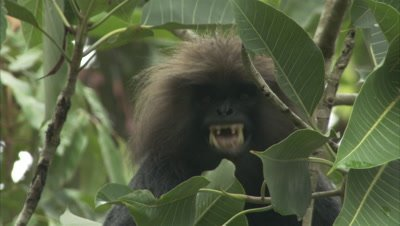 Nilgiri Langur Acts Agressive,Bares Teeth,In Rainforest