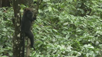 Nilgiri Langur Sitting On A Branch Of A Tree