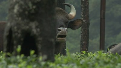 Close Up Of Gaurs In Tea Estate During Rains