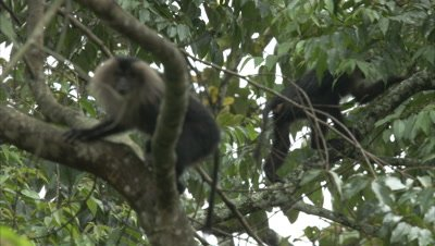 Close Up Of Lion-Tailed Macaques On A Branch Of A Tree