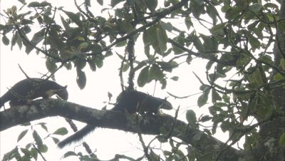 A Pair Of Malabar Giant Squirrels Chase Each Other in tree