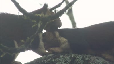 Malabar Giant Squirrel Grooming And Nuzzling Each Other