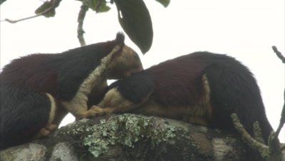 Malabar Giant Squirrel Grooming Each Other