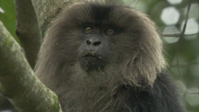 Close Up Of Lion-Tailed Macaque On A Branch Of A Tree