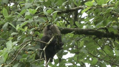 Close Up Of Lion-Tailed Macaque Eating Figs