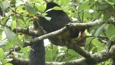 Malabar Giant Squirrel Resting On A Fig Tree