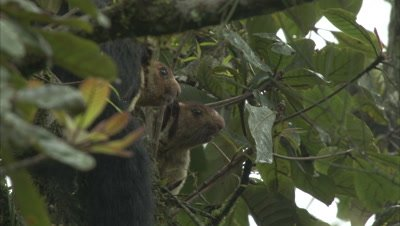 Malabar Giant Squirrels Sitting On A Branch Of A Tree