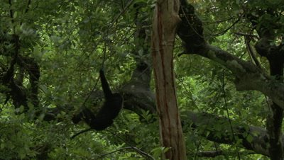 Lion-Tailed Macaque Swings Through Fig Trees