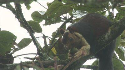 Malabar Giant Squirrel Feeds On Fig