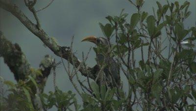 Malabar Grey Hornbill Perched in Tree
