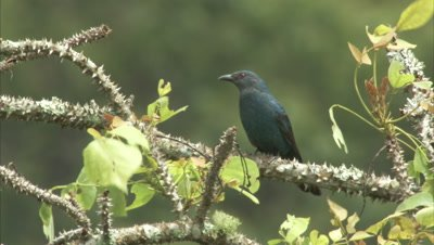 Female Asian Fairy-Bluebird Perched in Spiny Tree