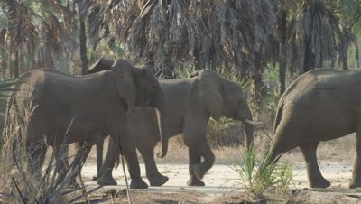 Tuskless family of elephants crossing a road