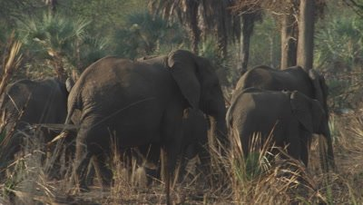 Group of tuskless elephants walking through bush,forest
