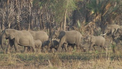 Herd of elephants,including some tuskless,walks in dry forest